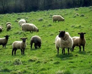 Sheep in Wyoming