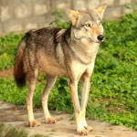 Indian wolf at Mysore Zoo in India