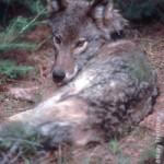 Eastern-type wolf