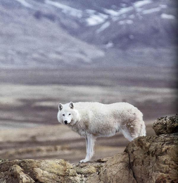International Wolf Center 187 Blog Archive 187 Nunavut