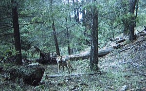 Dark Canyon AM992 in the summer of 2010 (Photo courtesy of the Mexican Wolf Interagency Field Team.)