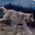 idaho_wolfrunning