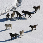 512px-Yellowstone_Wolves