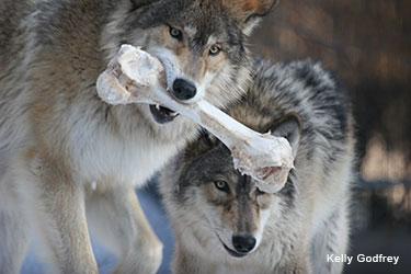Hunting Feeding Behavior International Wolf Center