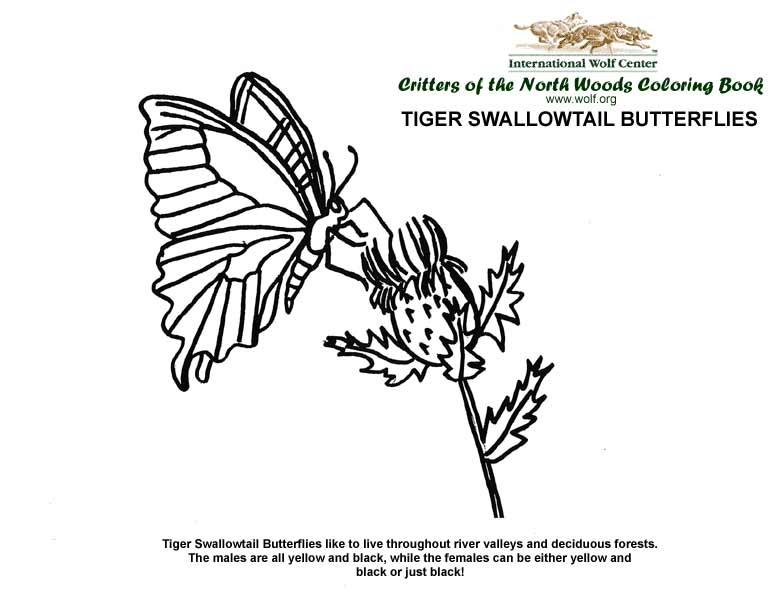 tiger swallowtail butterflies - Wolf Coloring Book