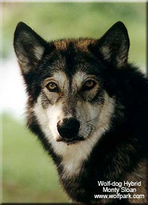 Wolf Dog Hybrids International