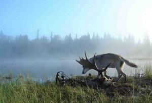 Isle Royale wolf feeding on bull moose carcass