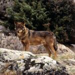 male iberian wolf jcblanco