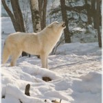 An Arctic gray wolf has white fur to blend in to snow