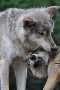 A wolf pup greets a more dominant, adult pack member