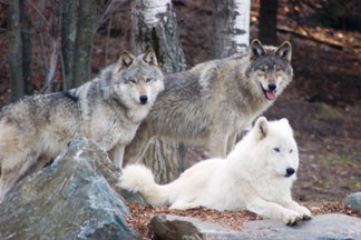International Wolf Center Blog Archive United States - Maps of the location of wolves in the us
