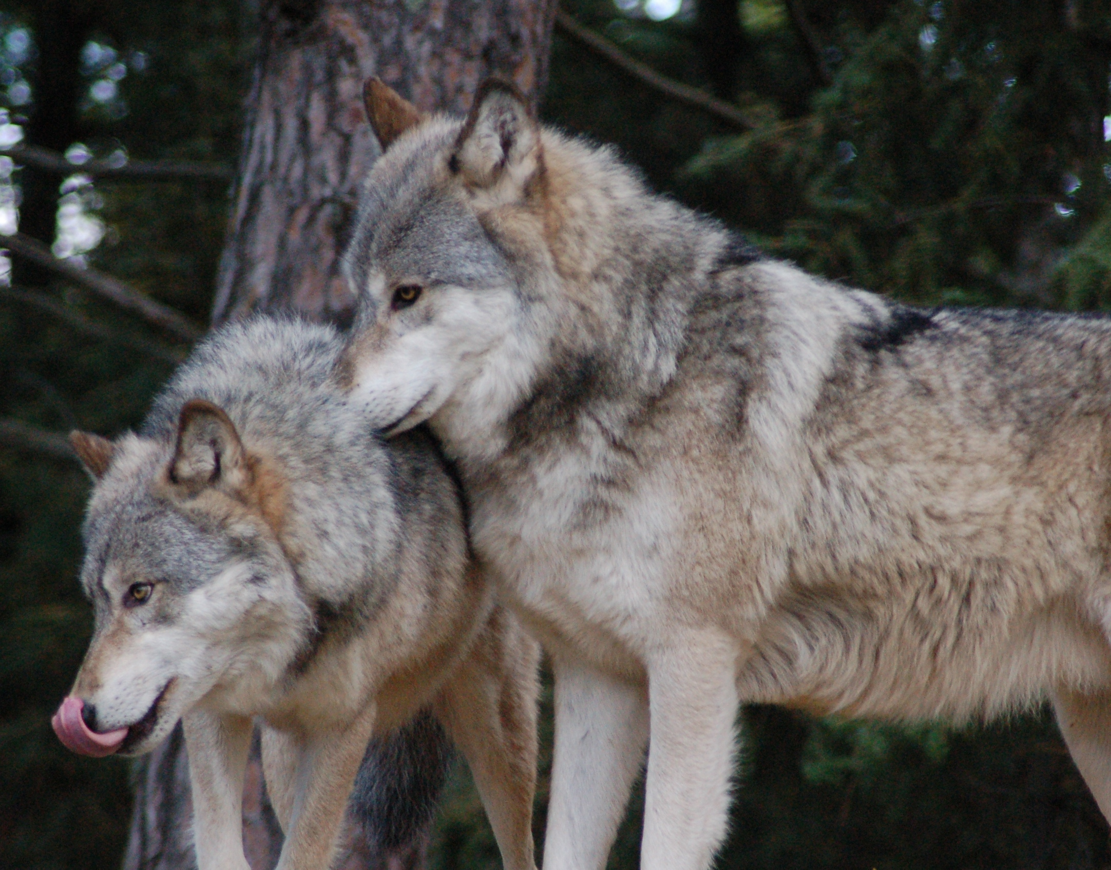 Glossary international wolf center dominant pair biocorpaavc
