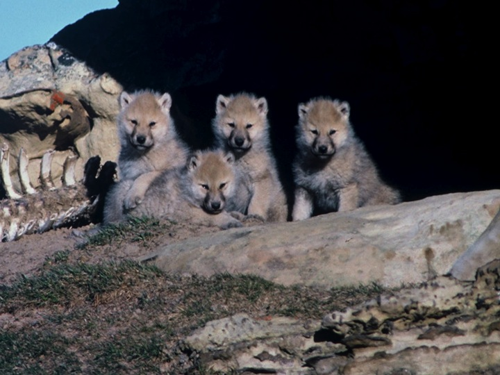 biology essay arctic wolf behaviour The cell cycle is an ordered set of events, culminating in cell growth and division into two daughter cells non-dividing cells not considered to be in the cell cycle.