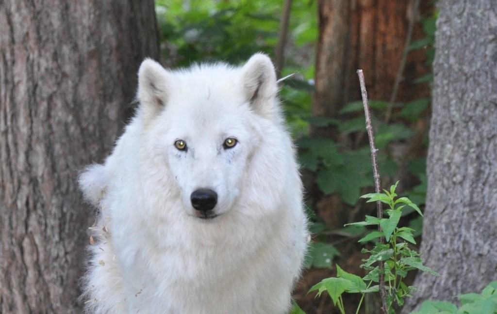 International Wolf Center Blog Archive Shadow