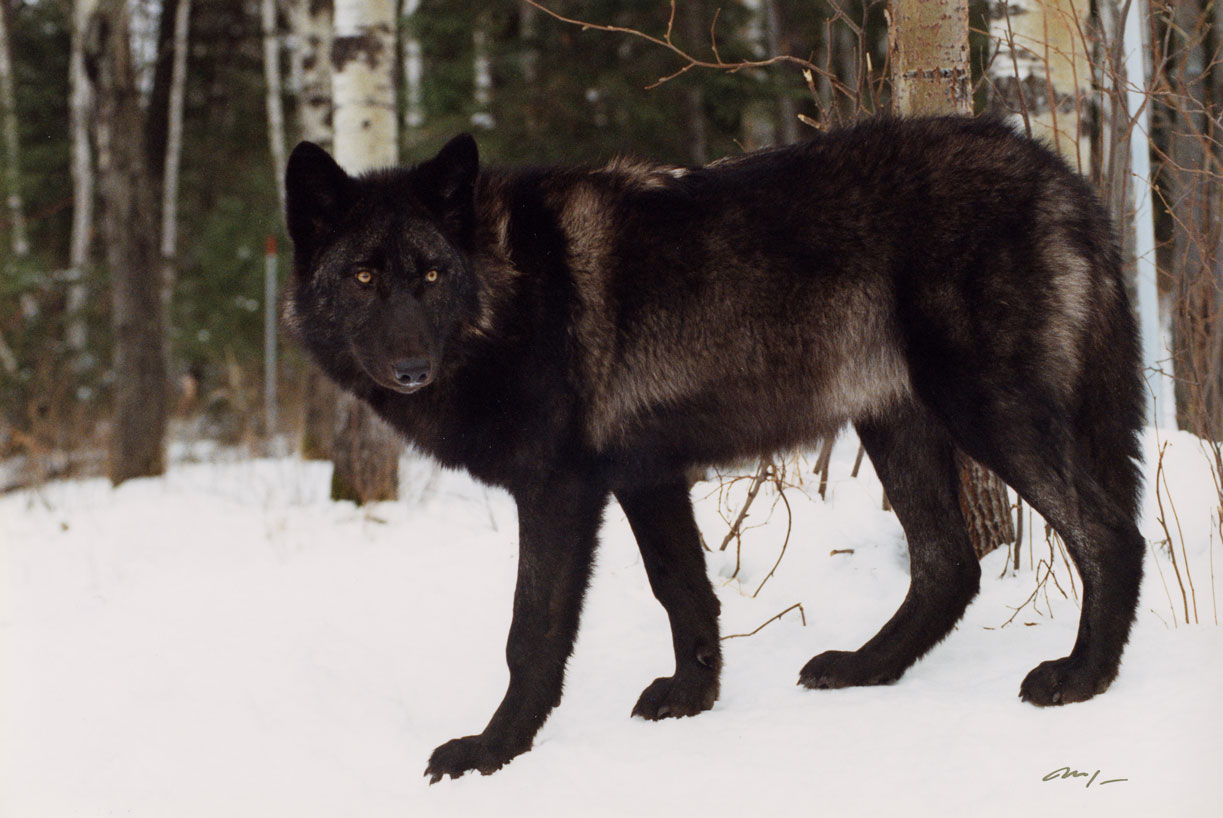 wolves in winter international wolf center. Black Bedroom Furniture Sets. Home Design Ideas