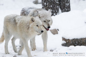 Denali and Grayson on a snowy day. Photo by Heidi Pinkerton
