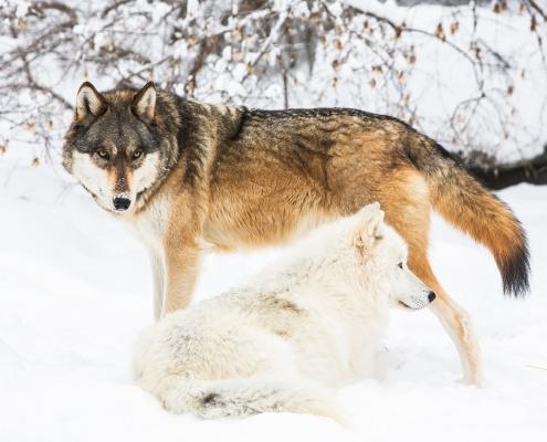 Wolf Activities