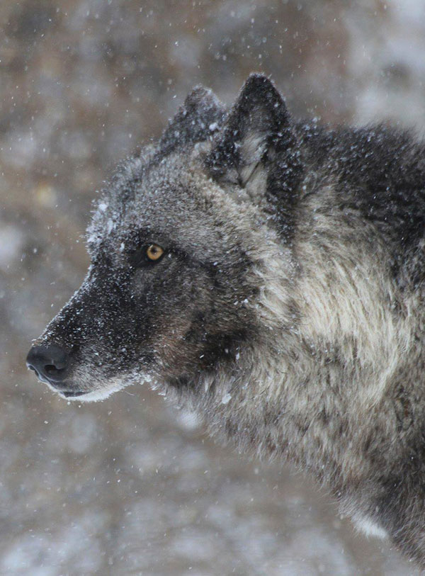 Telling the wolf's story