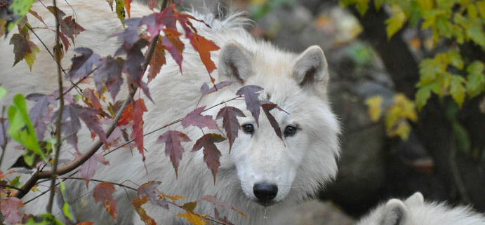 First Day Of Fall 2020.First Day Of Fall International Wolf Center