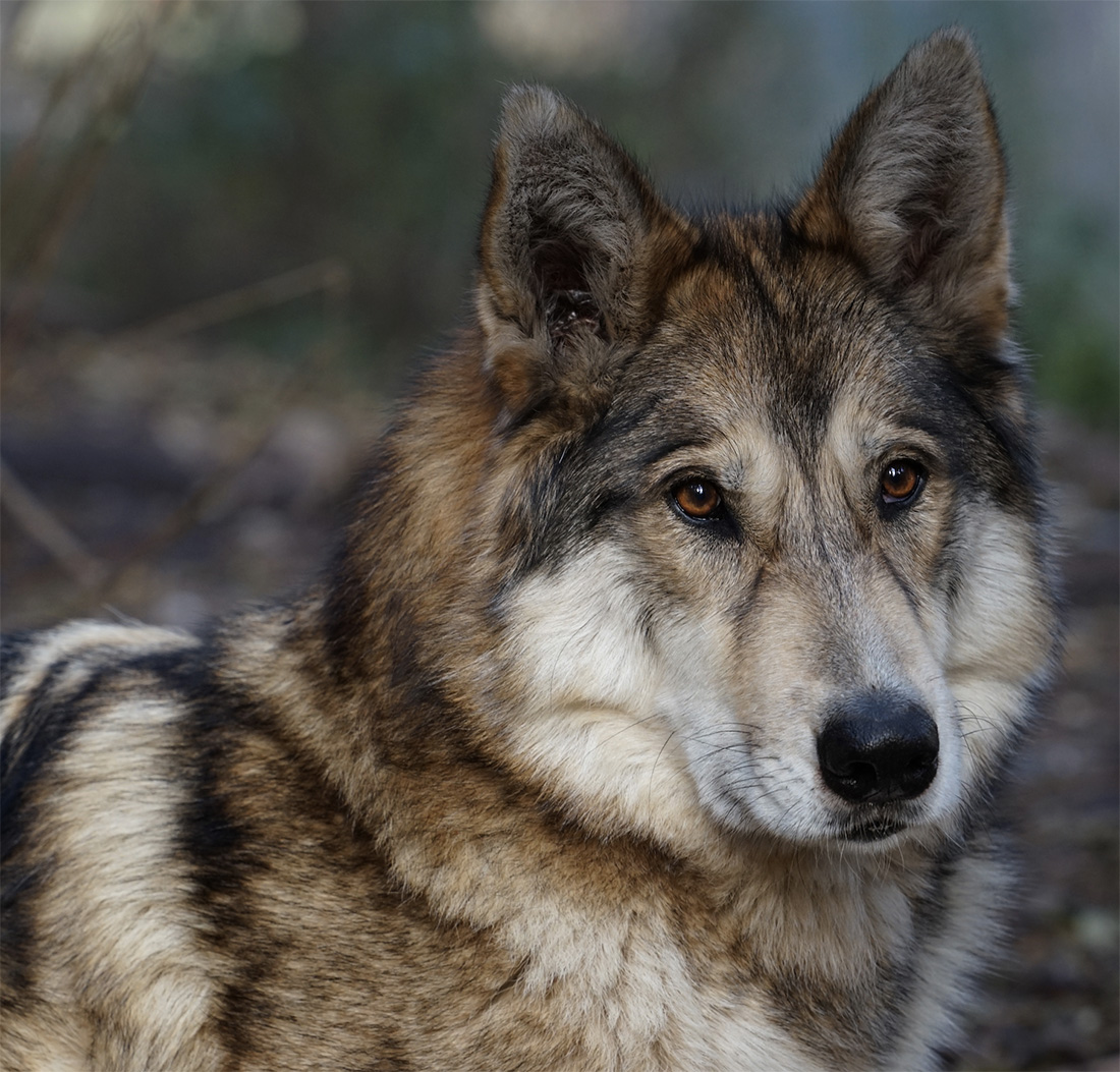 Get Facts About Wolf Dog Hybrids International Wolf Center